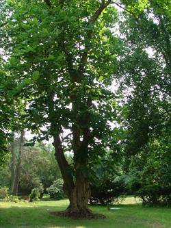 A Magnolia Tree
